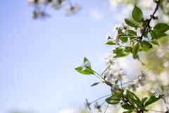 Blossoming of cherry flowers in spring time with green leaves, macro, frame. White flowers on a tree in a spring garden on a Sunny day, background blurred focus royalty free stock photography