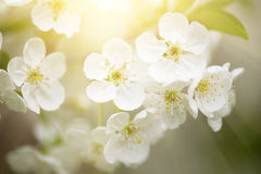 Cherry spring flowers Royalty Free Stock Image