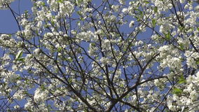 Blossoming cherry fruit tree in spring stock video