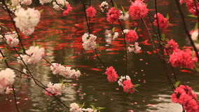 Blossoming cherry with goldfishes stock footage