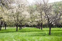 Blossoming cherry orchard Stock Photos