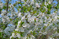 Blossoming cherry orchard Royalty Free Stock Photos