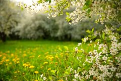 A blossoming cherry orchard and dandelions in the grass on a spring day   stock photos