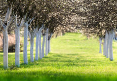 Blossoming cherry orchard in spring time Stock Photo