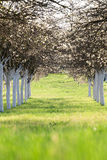 Blossoming cherry orchard in spring time Stock Images