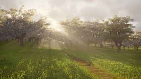 Blossoming cherry orchard in the sunlight Royalty Free Stock Photo