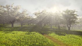 Blossoming cherry orchard in the sunlight Stock Photos