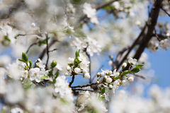 Blossoming cherry orchard Royalty Free Stock Photo