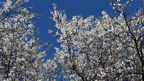 Blossoming of a cherry plum. Spring in gardens of Kuban stock footage