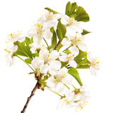 Blossoming cherry realistic branch. EPS 10 Royalty Free Stock Images