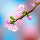 Blossoming Cherry Tree. Vector illustration background Royalty Free Stock Photography