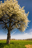 Blossoming cherry tree. Wide angle view of a blossoming cherry tree in spring Royalty Free Stock Photos