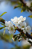 Blossoming cherry tree. Branch of blossoming cherry tree on sky background Stock Photo