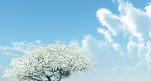 Blossoming cherry-tree Royalty Free Stock Images