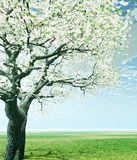 Blossoming cherry-tree Stock Photography