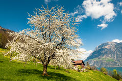 Blossoming cherry tree Stock Image