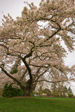 Blossoming Cherry Tree Royalty Free Stock Image