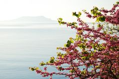 Blossoming cherry tree against the sea. Stock Image