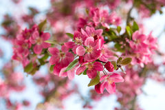 Blossoming cherry tree. beautiful pink flowers Stock Photography