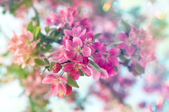 Blossoming cherry tree. Beautiful pink flowers. Retro style tone Stock Photography
