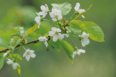 Blossoming cherry tree branch Stock Photography