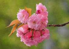 Blossoming cherry tree Stock Photo
