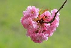Blossoming cherry tree Stock Photography