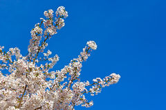 Blossoming cherry tree branch against a clear blue sky. Royalty Free Stock Images