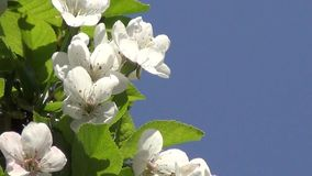 Blossoming of Cherry Tree. Branch of a blossoming cherry tree close up stock footage