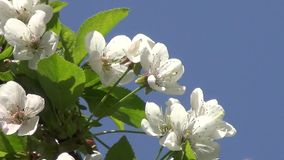 Blossoming of Cherry Tree. Branch of a blossoming cherry tree close up stock video footage