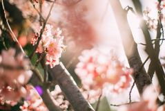 Blossoming cherry tree branch stock photos