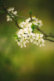 Blossoming cherry tree branch in spring Royalty Free Stock Photo