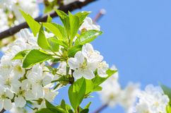 Blossoming cherry tree brunch Stock Photos