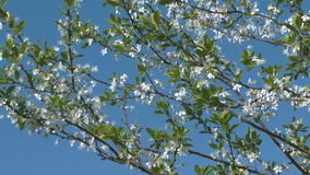Blossoming cherry-tree. Flowering cherry-tree against blue sky stock footage