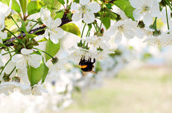 Blossoming cherry tree flowers and bee. Bee collecting pollen from a cherry tree flower Stock Photos
