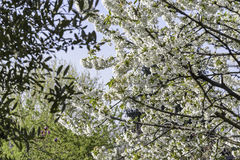 Blossoming cherry tree. Fully blossoming cherry tree branch stock photos