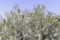 Blossoming cherry tree. Fully Blossoming cherry tree branch royalty free stock photography