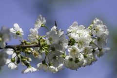 Blossoming cherry tree. Fully Blossoming cherry tree branch royalty free stock images