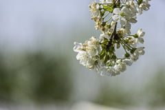 Blossoming cherry tree. Fully Blossoming cherry tree branch stock photography