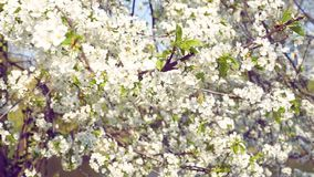 Blossoming cherry tree in garden. Cherry tree blossoming in garden in bright spring day. Spit toning stock video