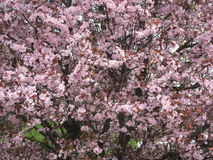 Blossoming cherry tree in the garden in early spring. Uzhhorod of Transcarpathia. Blossoming cherry tree in the garden in early spring. Transcarpathia Royalty Free Stock Images