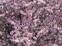 Blossoming cherry tree in the garden in early spring. Uzhhorod of Transcarpathia. Blossoming cherry tree in the garden in early spring. Transcarpathia Royalty Free Stock Photo
