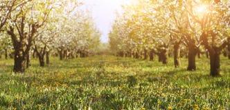Blossoming cherry tree garden Stock Image
