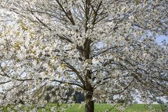 Blossoming cherry tree in Hagen, Osnabrueck country, German Stock Photos