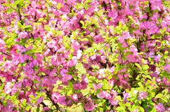Blossoming cherry tree. Blossoming japanese cherry tree background royalty free stock photography