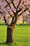 Blossoming cherry tree on a lawn royalty free stock photo