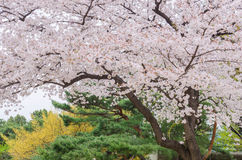 Blossoming cherry tree Royalty Free Stock Photo