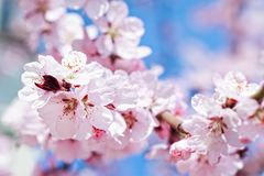 Blossoming cherry tree stock photos