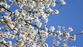 Blossoming  cherry tree. In spring stock footage