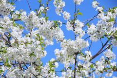 Blossoming cherry tree. White flowers Stock Photos